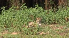 Jaguar resting on the river bank filmed from boat in Pantanal in Brazil 3 Stock Footage