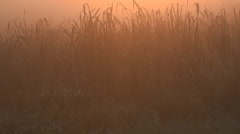Stock Video Footage of Cattail Leave Morning Glow