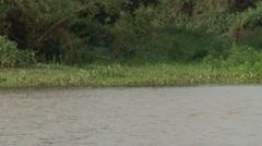 Jaguar swiming in river filmed from boat in Pantanal in Brazil 2 Stock Footage