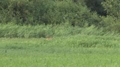Jaguar walk in high gras filmed from boat in Pantanal in Brazil 2 Stock Footage