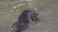 Neotropical River Otter feeding on fish in Pantanal in Brazil 1 Stock Footage