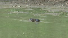 Neotropical River Otter fishing in Pantanal in Brazil 10 Stock Footage