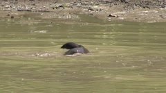 Neotropical River Otter fishing in Pantanal in Brazil 12 Stock Footage