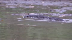 Neotropical River Otter fishing in Pantanal in Brazil 2 Stock Footage