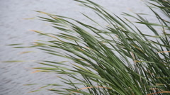 Cattail Clump in Wind Close Stock Footage