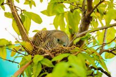 Female dove incubating eggs Stock Photos
