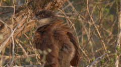 A Burchell's Coucal sitting on a branch - stock footage
