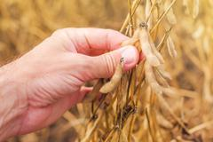 Farmer hand in harvest ready soy bean field - stock photo
