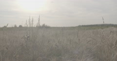 Grain field with wheat or rye ready for harvest Stock Footage