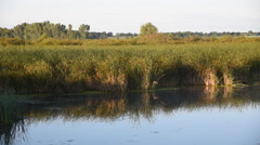 Cattail Marsh in the Morning Light Stock Footage