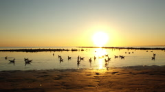 Seagulls on baltic beach in sunset Stock Footage