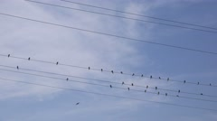 Swallows resting and grooming on power lines cables Stock Footage