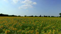Camera flies over sunflower field in Tuscany - stock footage
