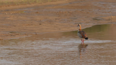 An Egyptian Goose looking for food in the water Stock Footage