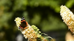 Red admiral on syringe flower Stock Footage
