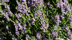 Erica flowers with insects Stock Footage
