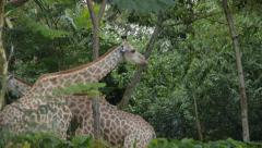 Giraffes At Singapore Zoo Stock Footage