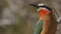 A White fronted bee-eater sitting on a branch and then flying away Stock Footage