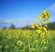Rapeseed flower Stock Photos