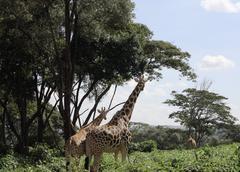 Giraffes in Nairobi reserve - stock photo