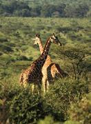 Two Reticulated giraffe Stock Photos