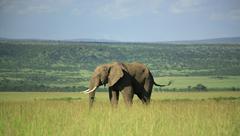 Elephant in the Masai Mara - stock photo