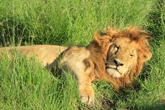 Lion - stock photo