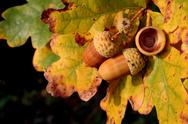 Autumn acorns Stock Photos