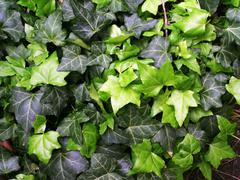 Green ivy background - stock photo