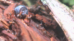 Ants eat berries Stock Footage