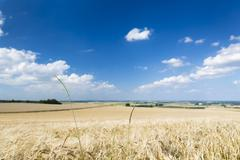 A golden rye field with blue sky and wide Eifel landscape in Germany, some gr - stock photo