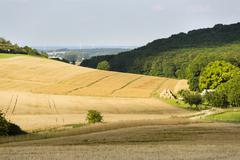 Golden rye fields in beautiful light on hills in northern Eifel landscape in  - stock photo