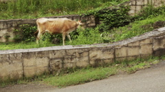 Cow on city street Stock Footage