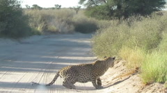 Leopard stalking a hartebeest in the Kalahari desert Stock Footage