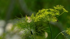 Blooming fennel in a garden and flying insects - stock footage