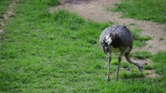 Ostrich on grass Stock Footage