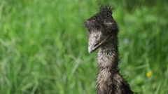 Dromaius novaehollandiae (emu) Stock Footage