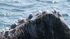 Flock of Birds on A Rock in the sea Stock Footage