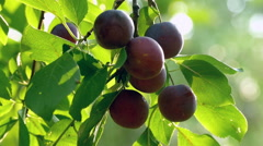 Plums on a branch Stock Footage