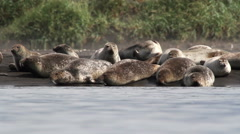 Flock of Seal on the shore Stock Footage
