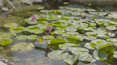 Water lily  summer in slow motion 4K high resolution - stock footage