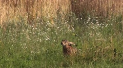 Fleeing brown hare Stock Footage