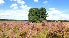 Blossomig Heather in summer Stock Footage