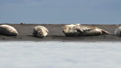 Iceland Seals on the Beach Stock Footage