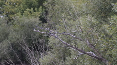 Tree Swallows on Branch Stock Footage