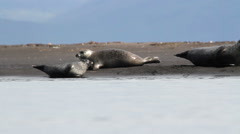 Iceland Seals on the shore of Iceland Stock Footage