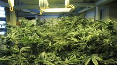 Marijuana garden mid shot - stock footage