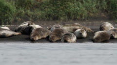 Iceland Seals on the beach of Iceland Stock Footage