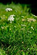 yarrow (Achillea collina) - stock photo