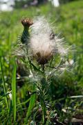 Canada thistle (Cirsium arvense) Stock Photos
